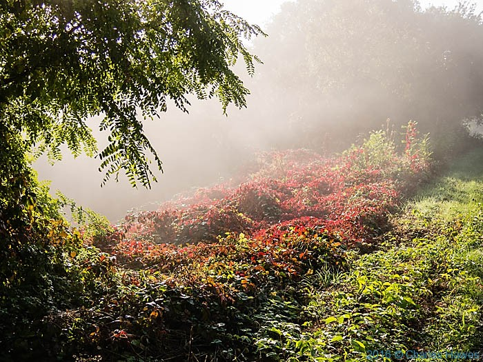 Parthenocissus by roadside near Carennac, France, photographed by Charles Hawes