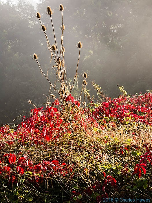 Parthenocissus and Teasel by roadside near Carennac, France, photographed by Charles Hawes