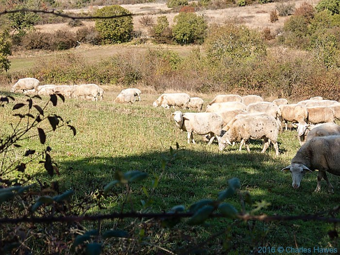 Sheep near the GR652 , Loubressac, France, photographed by Charles Hawes