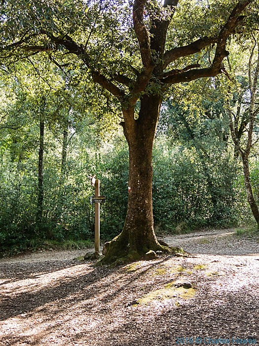 Holm Oak on the Via francigena near Monteriggioni, Tuscany, photographed by Charles Hawes